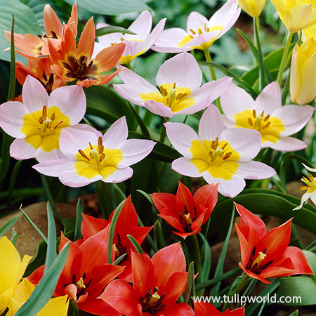 Groundcover Tulip Mix