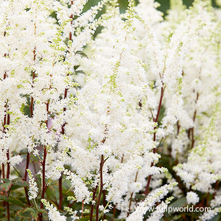 Happy Spirit Astilbe shade perennials, perennials that bloom in shade, white astilbe, astilbe for sale, false spirea, astilbe, bareroot perennials, deer resistant perennials