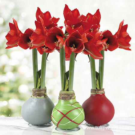 Holiday Waxed Amaryllis Collection (3-Pack) Waxed Amaryllis Holiday Collection, Amaryllis Bulbs 3-Pack, Hand-Dipped in Wax, Unique Gifts, Easy To Grow