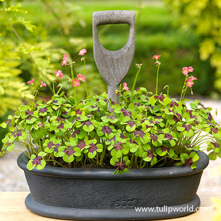 Iron Cross Oxalis Shamrock Plant - 28129