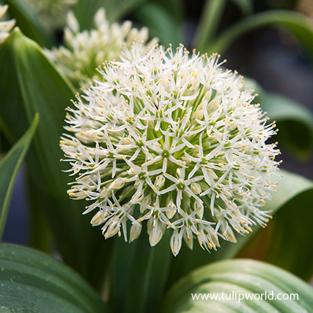 Ivory Queen Allium