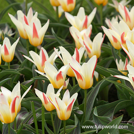 The First Kaufmanniana Tulip - 39152