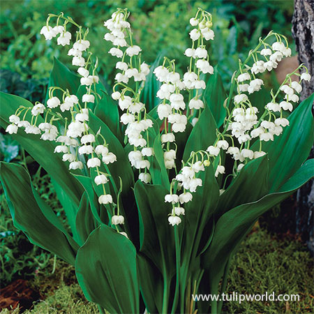 Lily of the Valley Value Pack lily of the valley meaning, lily of the valley plants for sale, lily of the valley bulbs, flower clearance, sale on perennials, perennials for sale, lily of the valley for sale, convallaria majalis