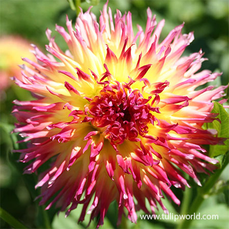 Lindsay Michelle Dahlia buy dahlias, unique dahlias, dahlia tuber suppliers, cheap dahlia tubers