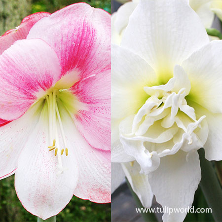Lollipop Pink Amaryllis Collection  amaryllis bulbs for sale, best amaryllis bulbs, dutch amaryllis bulbs for sale, double amaryllis bulbs, ice queen amaryllis