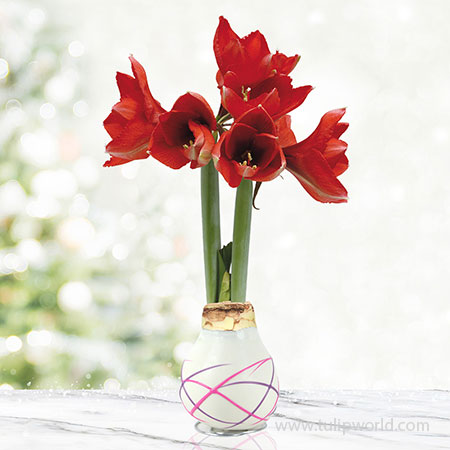 Love Struck Picasso Waxed Amaryllis White Waxed Amaryllis, Unique Holiday Gift, Hand-Dipped Wax Covered Bulb, Holiday Flowers