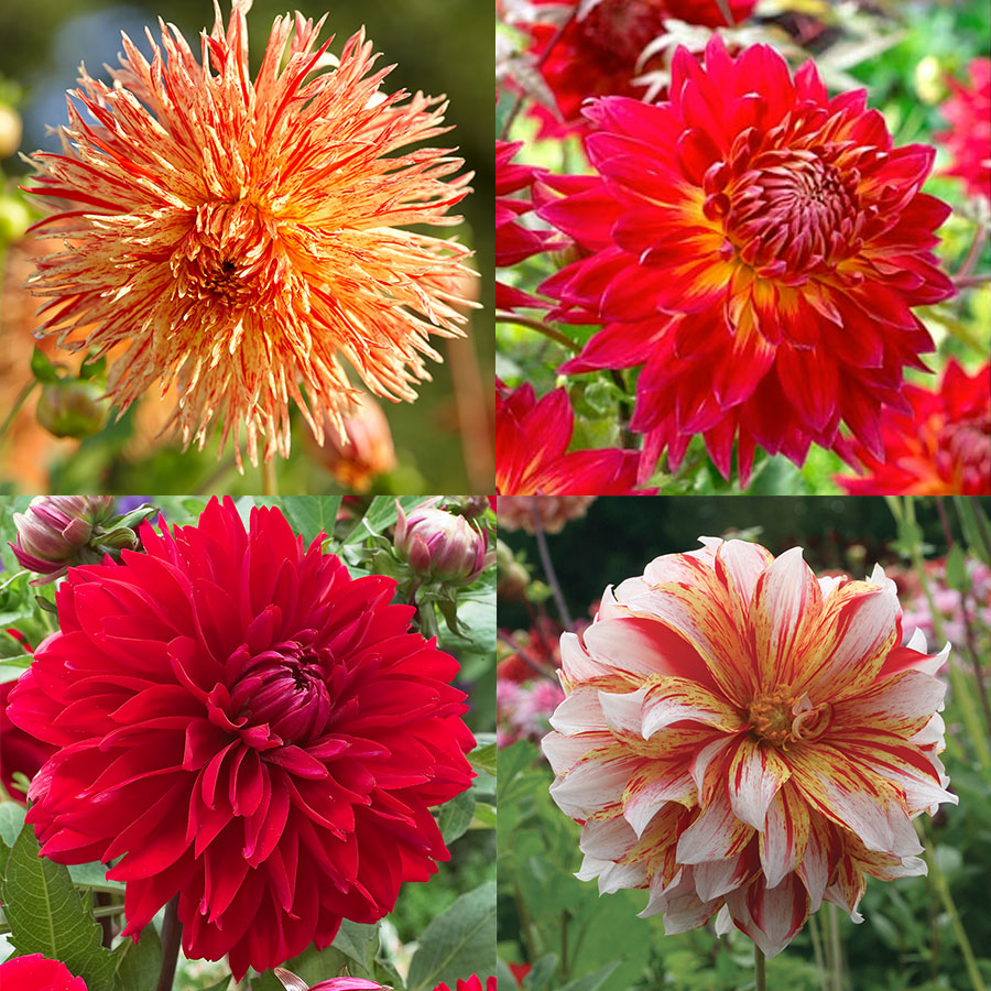 Luminous Dahlia Garden Collection