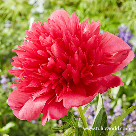 Many Happy Returns Peony herbaceous peonies varieties, paeonia lactiflora madrid, red peony, pink peony, peony avalanche, peony paradise, pure peonies, peonyshop, fragrant flowers, cut flowers