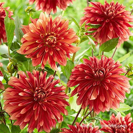 Miss Brandy Dahlia dahlias for sale, buy dahlias online, dahlia tubers for sale, wholesale dahlia tubers, best place to buy dahlias, miss brandy dahlia