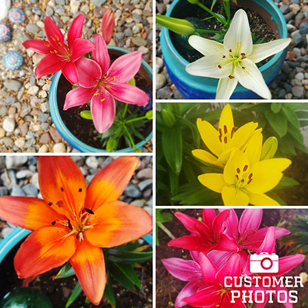 Mixed Asiatic Lilies Super Pack - 27138