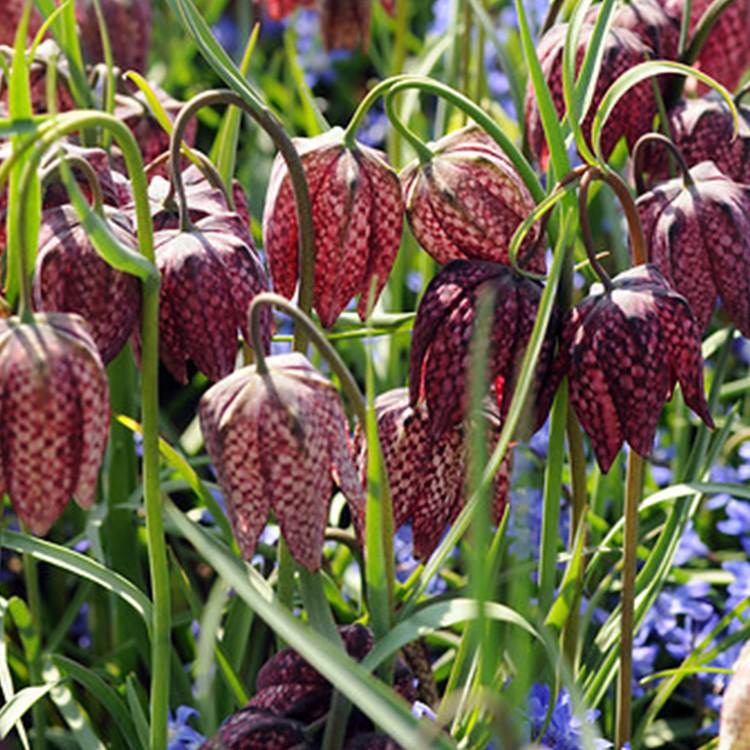 Mixed Checkered Fritillaria