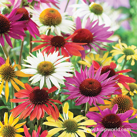 Mixed Coneflower 3 Pack coneflower varieties, echinacea, coneflowers for sale, types of coneflowers, plants for butterflies, plants that attract butterflies, deals on flowers, deals on perennials, perennials for sale