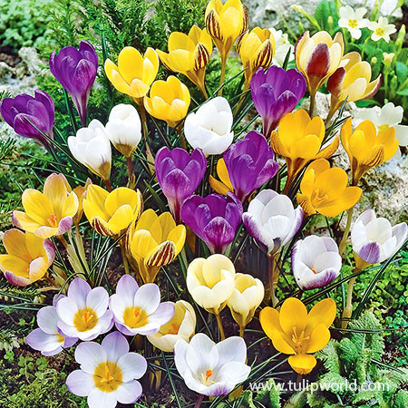 Mixed Crocus Value Pack crocus bulbs, mixed crocus, purple crocus, yellow crocus, white crocus, crocus planted in lawn, crocus for lawn