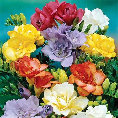 Mixed Double Freesia fragrant bulbs, fragrant flowers, mixed freesia, freesia bulbs for sale, mixed double freesia, freesia for spring planting