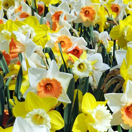 Mixed Naturalizing Daffodils Value Pack