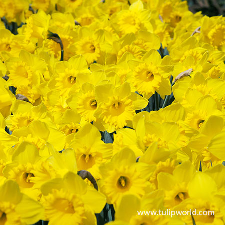 Mixed Naturalizing Daffodils Jumbo Bag - 32171