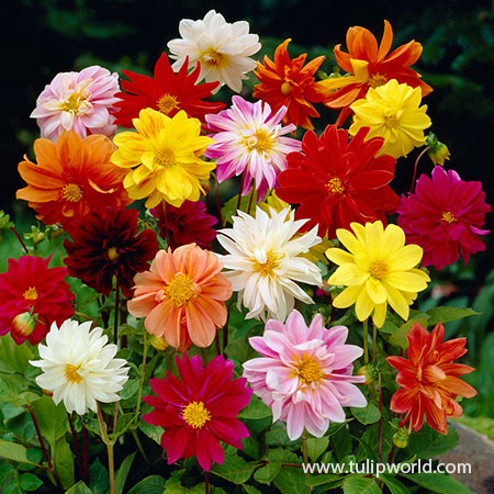 Mixed Unwin Dahlias Super Pack