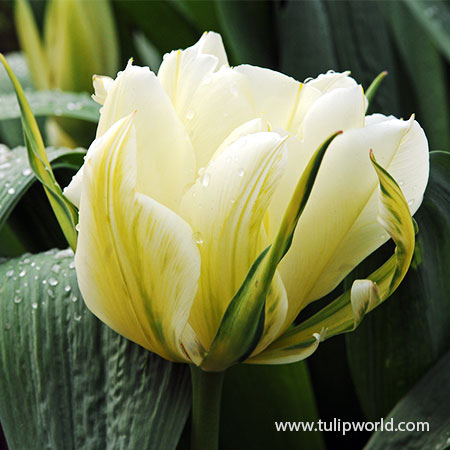 Mount Tacoma Double Tulip