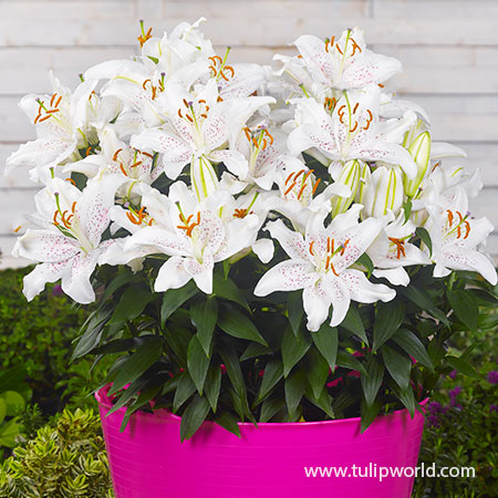 Muscadet Oriental Lily - 27118