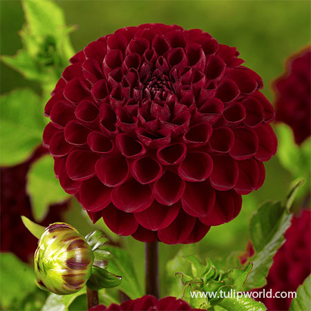Natal Dahlia Natal dahlia, dark red dahlia, pompon dahlia, dark red flowers, best flowers for full sun, dahlias for full sun, dahlia tubers online, dahlia tubers online cheap, buy dahlia tubers online, buy dahlias, buy dahlias