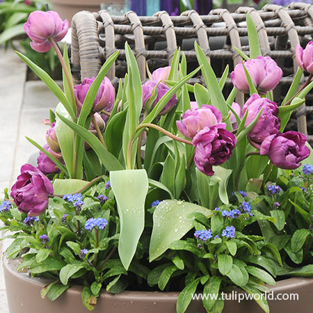 Negrita Double Tulip Pre-Chilled pre-chilled bulbs, pre-chilled tulips, purple tulips, bulbs for forcing, tulips for warm climates, purple double tulips