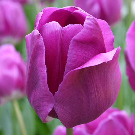 Negrita Tulip Pre-Chilled tulips for forcing, growing tulips indoors, pre-chilled tulips, purple tulips, tulips for vases, bulbs for growing indoors, bulbs for warm climates