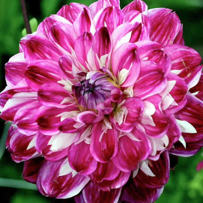 Optic Illusion Decorative Dahlia