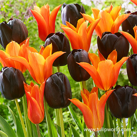 Orange & Black Tulip Mix black tulips, black and orange tulips, orange tulips, late spring tulips, bulk tulips, wholesale tulips, unique tulips, mixed tulips