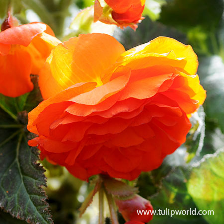 Orange Hanging Basket Begonia
