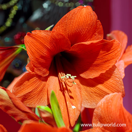 Orange Souvereign Amaryllis - 41120