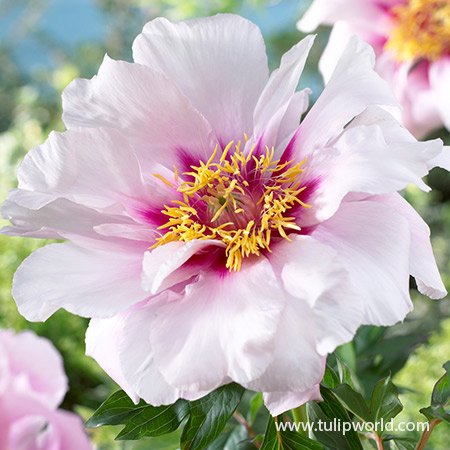 Peony Collection - 36108
