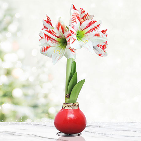 Peppermint Waxed Amaryllis