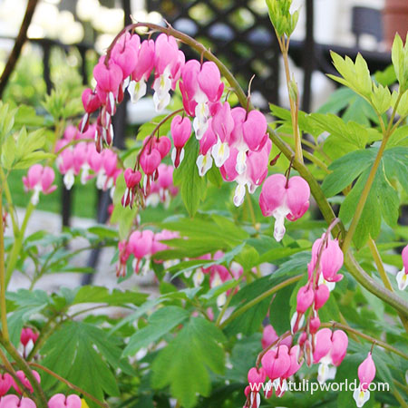 Pink Bleeding Hearts - 27164