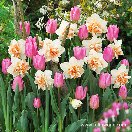 Pink Tulip & Daffodil Blend pink tulips, pink daffodils, replete double daffodils, pink triumph tulips, mix of tulips and daffodils, tulips and daffodil blend