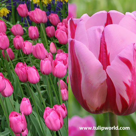 Pretty in Pink Tulip Collection