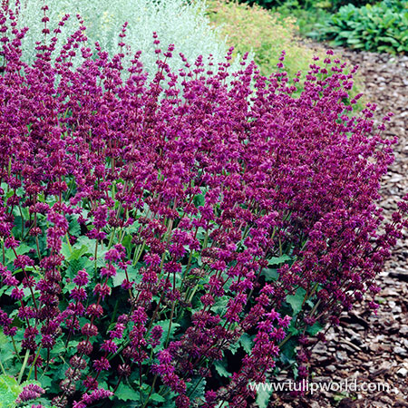 Purple Rain Salvia purple rain salvia, salvia varieties, purple rain sage, purple flowered perennials, best purple plants, perennials for full sun, bare root perennials, bare root salvia