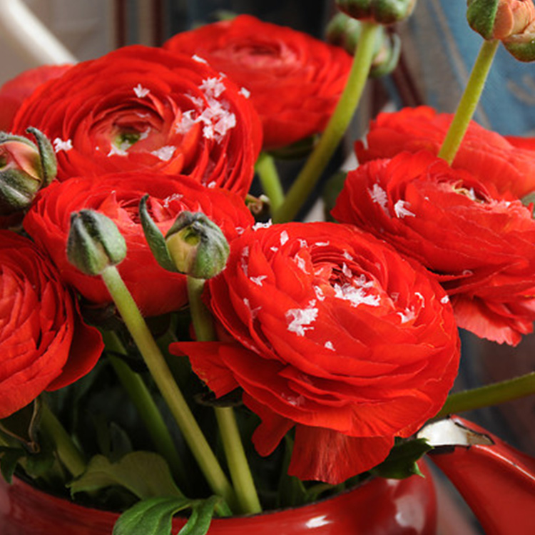 Red Ranunculus - 37124