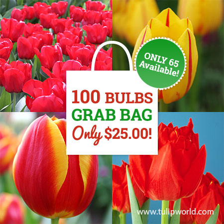 Red & Yellow Tulip Grab Bag red tulips for sale, yellow tulips for sale, large red tulips for sale, classic tulip colors, classic tulips for sale, long blooming tulips, perennial tulips, perennial tulips for sale