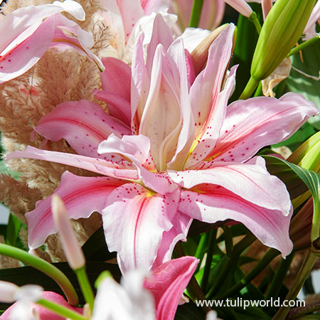 Roselily Double Oriental Lily Mix - 27269