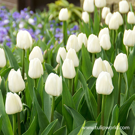 Royal Virgin Triumph Tulip - 39162