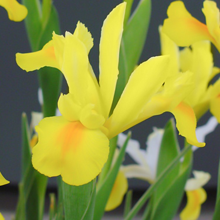 Royal Yellow Dutch Iris