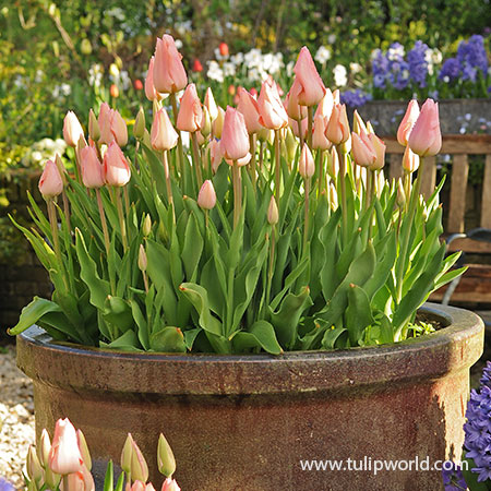 Salmon Impression Darwin Hybrid Tulip Pre-Chilled tulips for forcing, growing tulips indoors, pre-chilled tulips, purple tulips, tulips for vases, bulbs for growing indoors, bulbs for warm climates