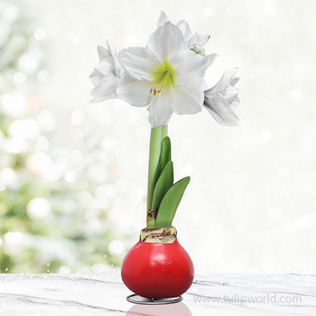 Season Greetings Waxed Amaryllis