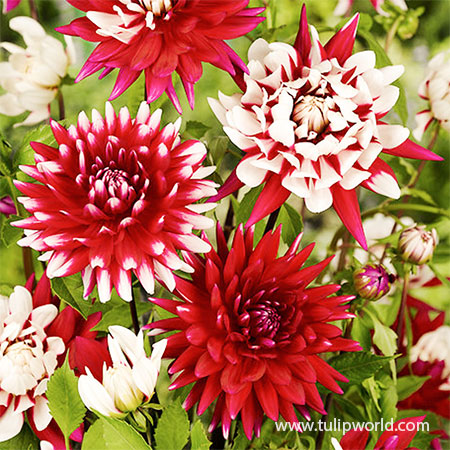 Shades of Red Dahlia Blend shades of red dahlia blend, red dahlias, decorative dahlias, pom pon dahlias, ball dahlias, dahila mixes, best red dahlias, dahlia blend red mixed, spring planted bulbs