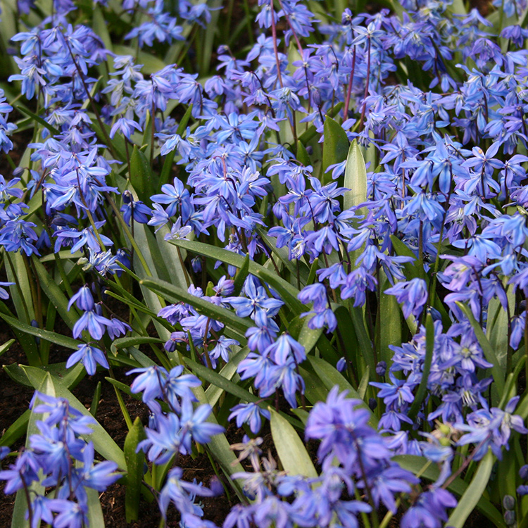 Siberian Squill Landscape Pack