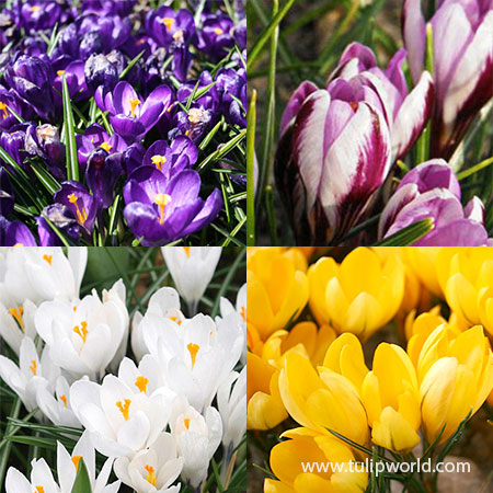 Spring Crocus Collection