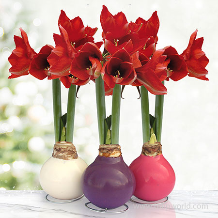 Springtime Waxed Amaryllis Collection (3-pack)
