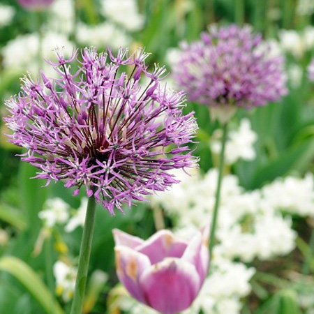 Star Of Persia Allium