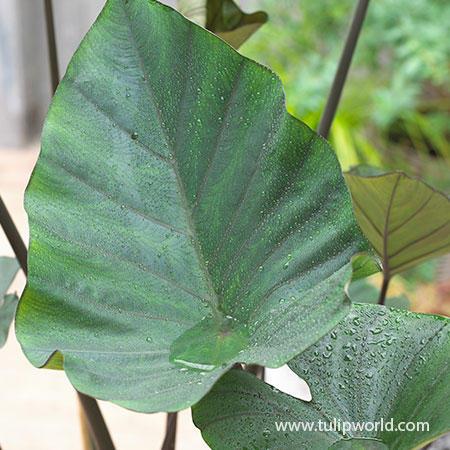 Tea Cup Elephant Ear elephant ear bulbs for sale, colocasia tea cup indoor, colocasia tea cup, alocasia elephant ears for sale, colocasia esculenta