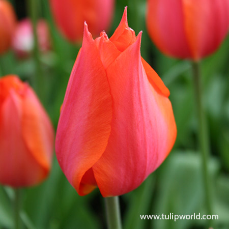Temple of Beauty Single Late Tulip - 39156